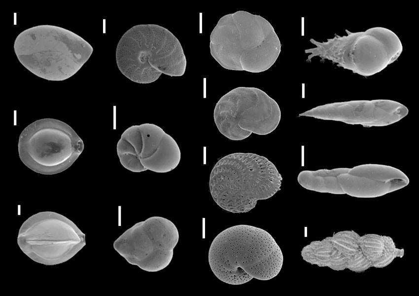 Skal av foraminiferer upp till 35 000 år gamla. Läs mer under Fakta.