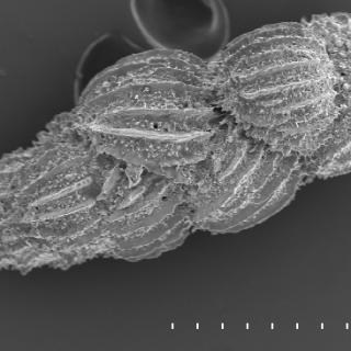 Skalet av en foraminifer av arten Uvigerina peregrina. Läs mer under Fakta.