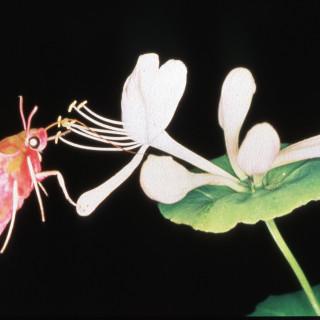Snabelsvärmare, Deilephila elpenor, kan inte bara se bra på natten de kan också urskilja blommornas färg i ljuset från stjärnorna. Foto: Michael Pfaff