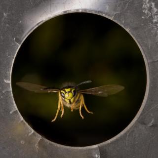 En geting flyger lätt igenom en öppning som inte är mycket större än dess vingbredd. Foto: Antoine Beyeler