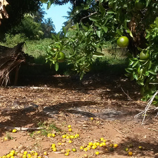 Tangeriner i Inhambane (500 kilometer norr om Maputo). Tangeriner är citrusfrukter vilka är svåra att torka direkt i solen på traditionellt vis.