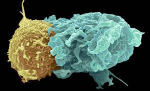 T-lymfocyter känner igen ett främmande ämne, en antigen, som sitter på ytan av främmande eller infekterade celler. När T-lymfocyten och antigenen kopplats ihop skickar T-cellen ut ämnen som dödar cellen. På en virusinfekterad kroppsegen cell utgörs antigenen av en MHC-molekyl med vidhängande virusprotein.