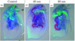 Bilderna är taget genom ett konfokalmikroskop och föreställer a) Daphnia som inte utsatts för nanotrådar samt b) och c) Daphnia som fått i sig nanotrådar av 40 respektive 80 nanometers längd. Foto Karin Mattsson och Karl Adolfsson.
