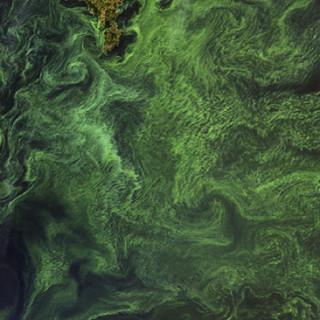 Blomning av cyanobakterier i Egentliga Östersjön