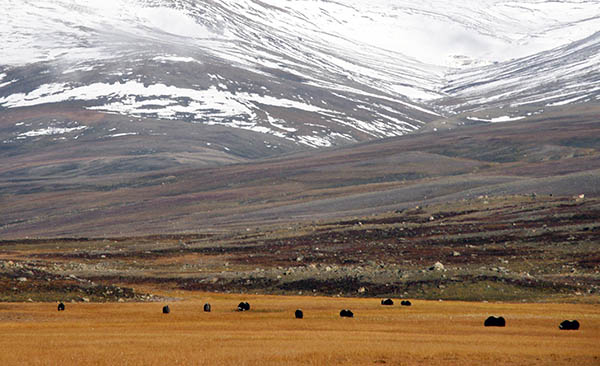 Sa paverkas arktis djur av varmare klimat