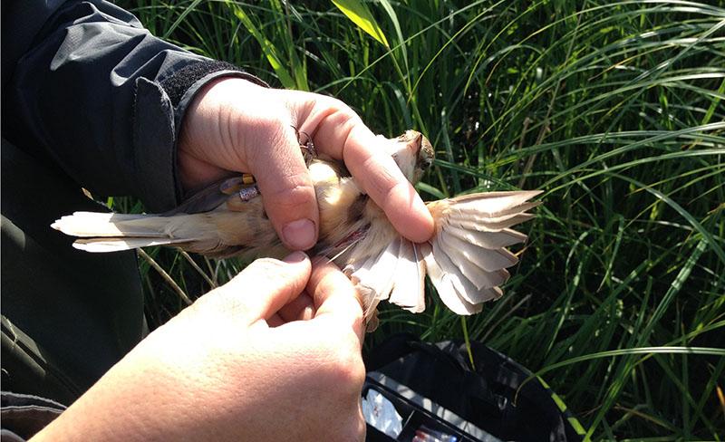 Idag kan man ta ett blodprov från en fågel och med hjälp av ny sekvenseringsteknik enkelt avläsa hur många MHC-genvarianter som fågeln har i sitt DNA. Innan de senaste årens utveckling av storskalig DNA-sekvensering krävdes det ett enormt arbete för att få ut motsvarande information.