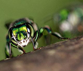 Orkidébi. Foto: Emily Baird