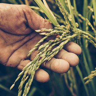 Odlare bör satsa på perenna grödor i stället för att odla ettåriga, som exempelvis ris.
